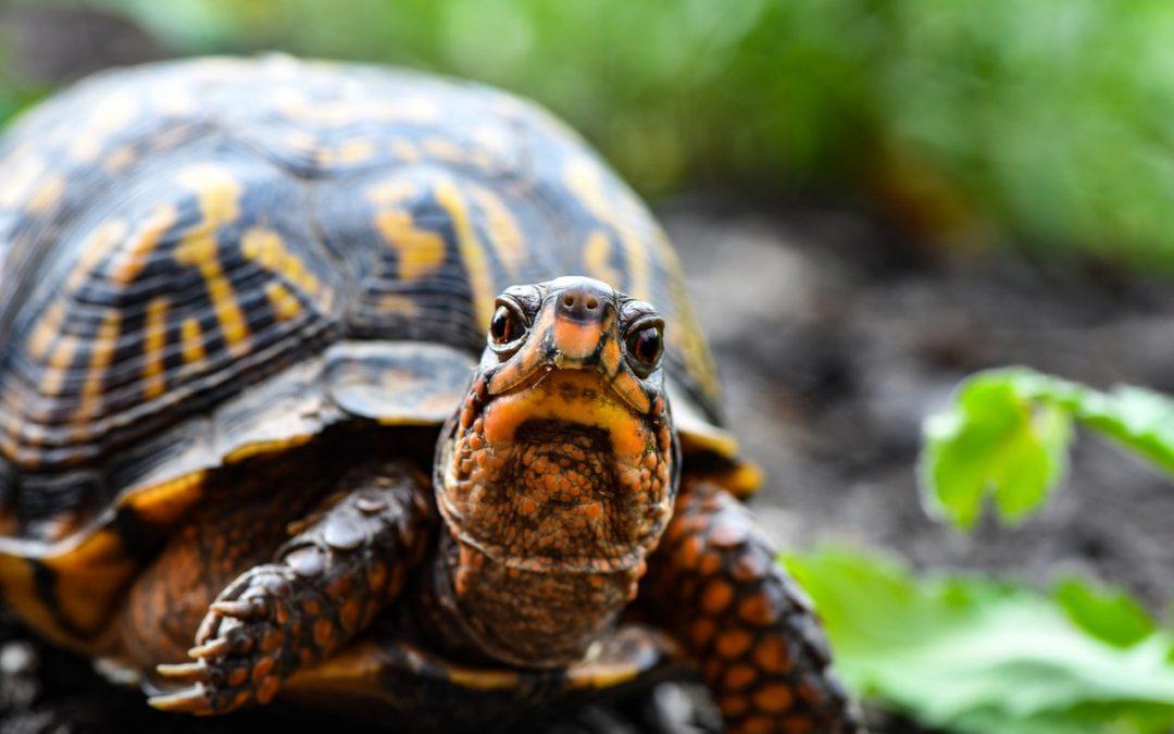 Un individu arrêté pour avoir vendu des tortues « radiata » sur le réseau social Facebook